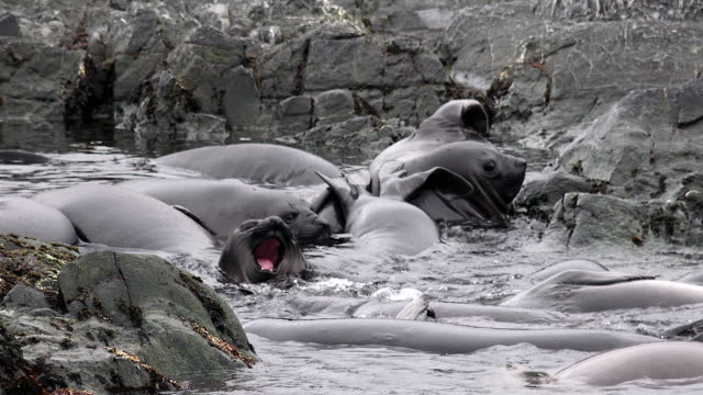 Elephant seal weaners playing in shallow waters, Fortuna Bay, South Georgia Island, Southern Ocean