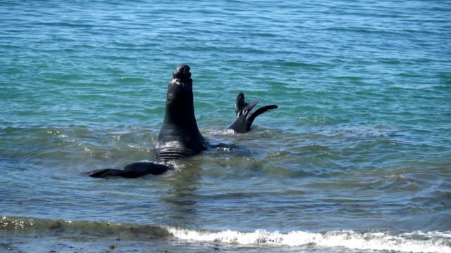 vídeos de stock e filmes b-roll de elephant seals attacking - elefante marinho