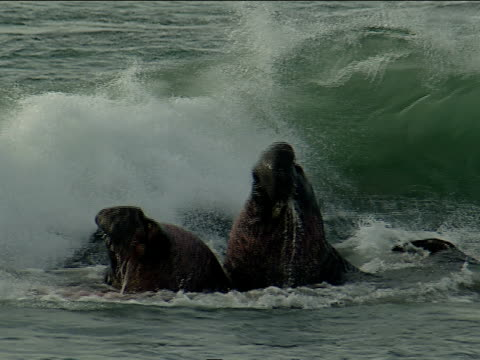 stockvideo's en b-roll-footage met elephant seals fight in the waves. - zeeolifant