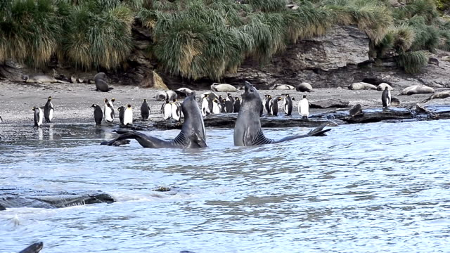 elephant seals fighting - pebble stock videos & royalty-free footage