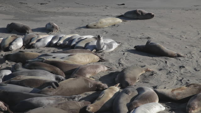 CU of elephant seals in Point Pierdas Blancas