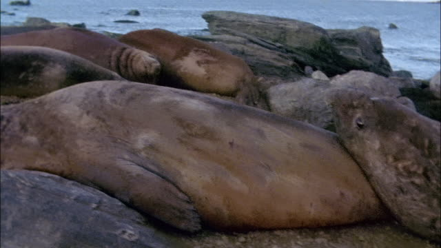 cu, pan, elephant seals lying by water, signy island, south orkneys - 数匹の動物点の映像素材/bロール