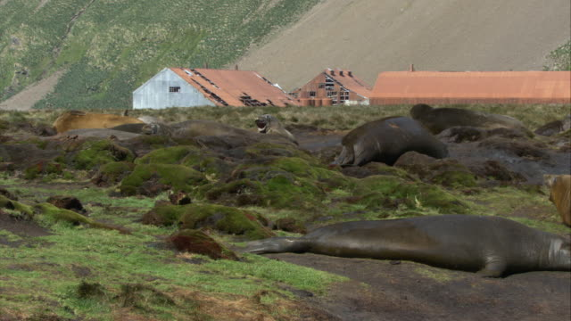 vídeos de stock e filmes b-roll de ms, pan, elephant seals lying on ground, abandoned buildings in background, south georgia island - ilha geórgia do sul