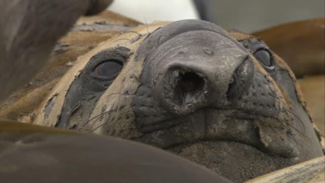 stockvideo's en b-roll-footage met ecu, elephant seals lying on ground, south georgia island - atlantische eilanden