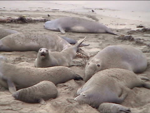 ms, pan, elephant seals mating, piedras blancas, san simeon, california, usa - seals stock videos and b-roll footage