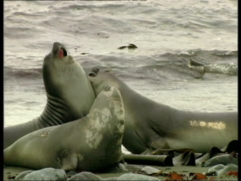 cu elephant seals, mirounga leonina, fighting each other on beach, antarctica - südlicher seeelefant stock-videos und b-roll-filmmaterial