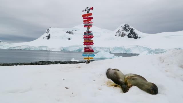 stockvideo's en b-roll-footage met elephant seals on snow - zuidelijke zeeolifant