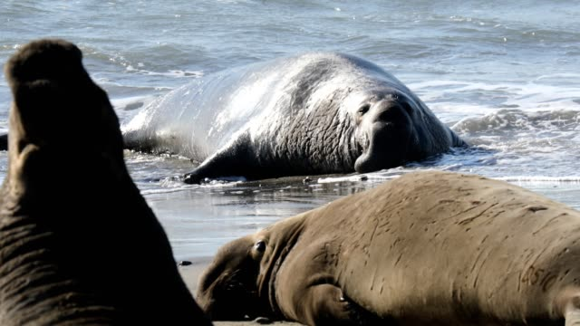 elephant seals on the beach in california - elephant seal stock videos & royalty-free footage