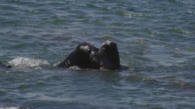 elefantsälar på kaliforniens kust - elefantsäl bildbanksvideor och videomaterial från bakom kulisserna