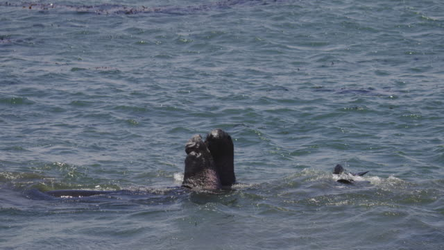 elephant seals on the california coast - elephant seal stock videos & royalty-free footage