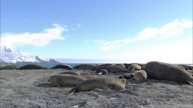 Elephant Seals resting at Antarctic Coast