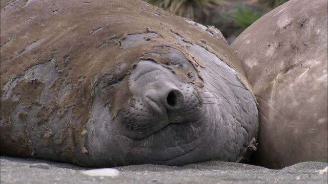 vídeos de stock, filmes e b-roll de ms elephant seals sleeping audio / gold harbour, south georgia, antarctica - elefante marinho
