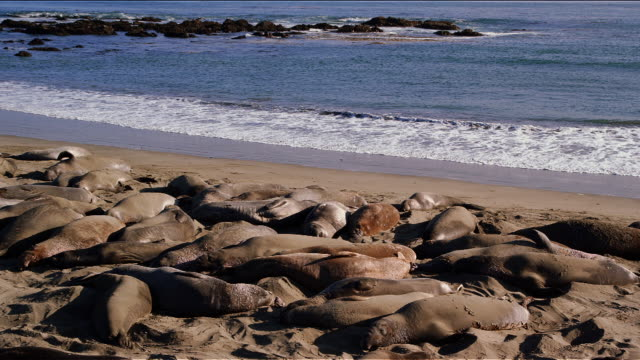 Elephant seals sleeping in the sun on California Coastline