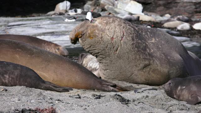 elephant seals, south georgia island, southern ocean - elefantsäl bildbanksvideor och videomaterial från bakom kulisserna