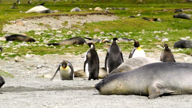 vídeos de stock e filmes b-roll de elephant seals - elefante marinho