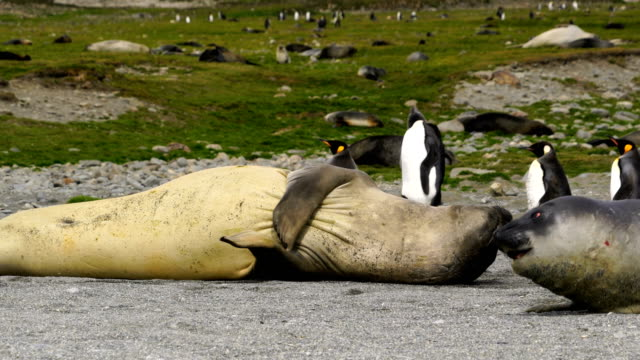 elephant seals - sea lion stock videos & royalty-free footage