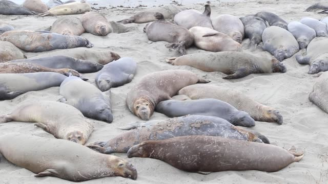 stockvideo's en b-roll-footage met elephant seals - zeeolifant
