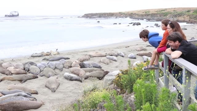 elephant seals - aquatic mammal stock videos & royalty-free footage