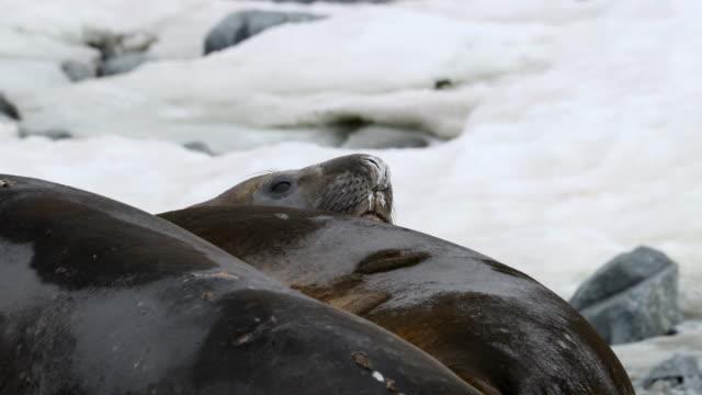 vidéos et rushes de elephant seals - éléphant de mer du sud