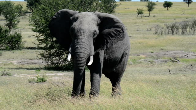 Elephant Shaking Head in Tanzania, Africa