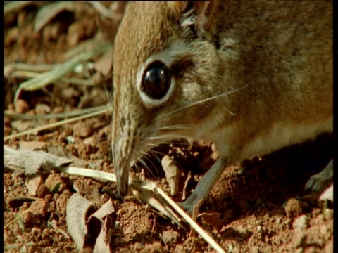 elephant shrew sniffs at, then eats, grasshopper, east africa - squiggle stock videos & royalty-free footage