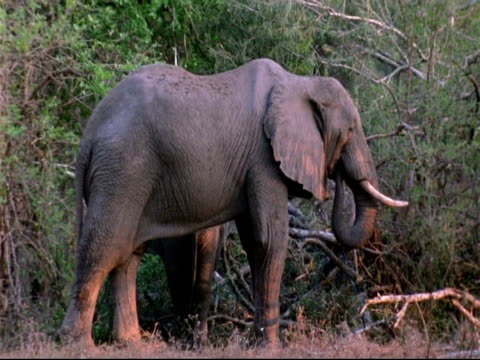 mcu elephant standing in woodland foraging, mana pools, zimbabwe - foraging stock videos & royalty-free footage