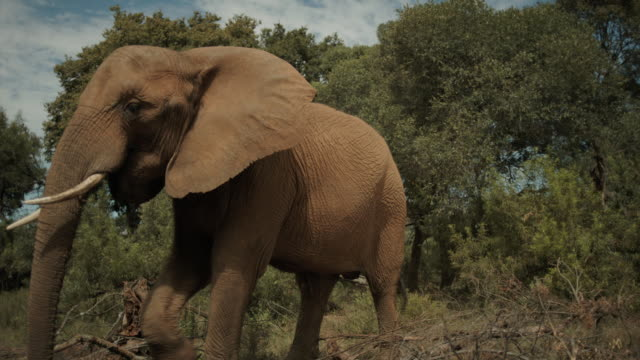 elephant steady cam. - elephant stock videos & royalty-free footage