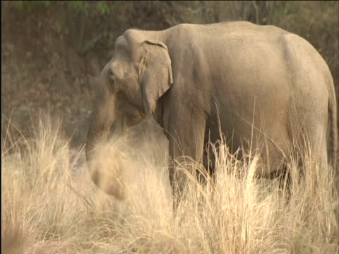 elephant swishes dry grass around then eats it - apparato digerente animale video stock e b–roll