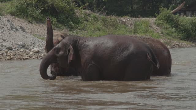 vidéos et rushes de elephant taking a bath / thailand - plaque de montage fixe
