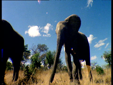 elephant threatens rhino and calf on savanna - babyhood stock videos & royalty-free footage