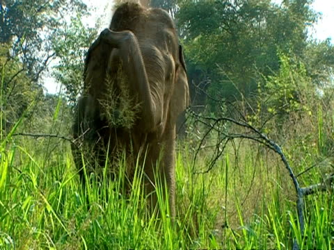 mcu elephant throws dirt on back, to camera - remote location stock videos & royalty-free footage