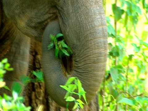 bcu elephant trunk breaking foliage off and putting it in mouth, tilt up to face and down again - face down stock videos & royalty-free footage