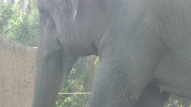 vídeos de stock e filmes b-roll de (hd1080i) elefante utiliza o tronco para a pá côncava alimentos na boca - nariz de animal