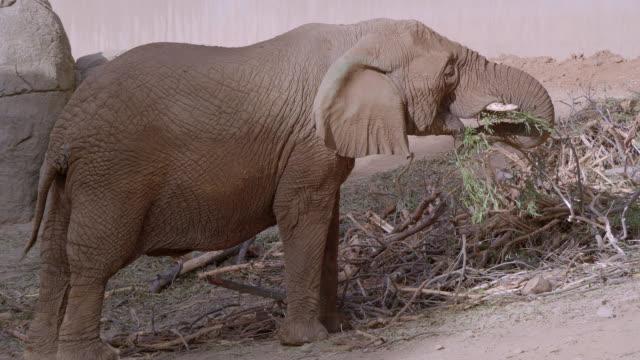vidéos et rushes de éléphant - éléphanteau