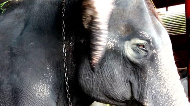 elephant - animal ear stock videos & royalty-free footage