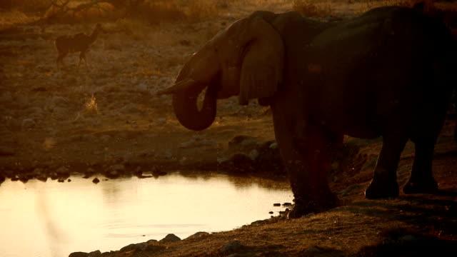 elephant - abenddämmerung stock videos & royalty-free footage