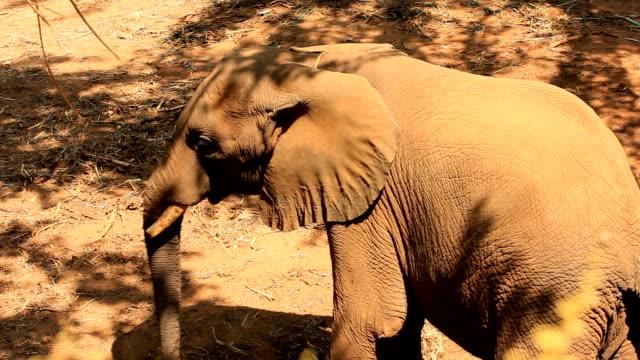 vídeos y material grabado en eventos de stock de elefante - oreja animal