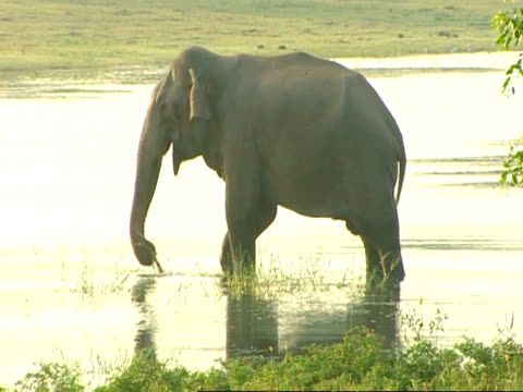 MS Elephant wading in water, grazing on weed