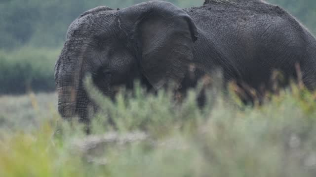 elephant walking behind some grass, in a nature reserve in kenya, africa, on a rainy day - 厚皮動物点の映像素材/bロール