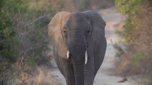 ms slo mo elephant walking dirt road with ears flapping / kruger national park, mpumalanga, south africa - krüger nationalpark stock-videos und b-roll-filmmaterial