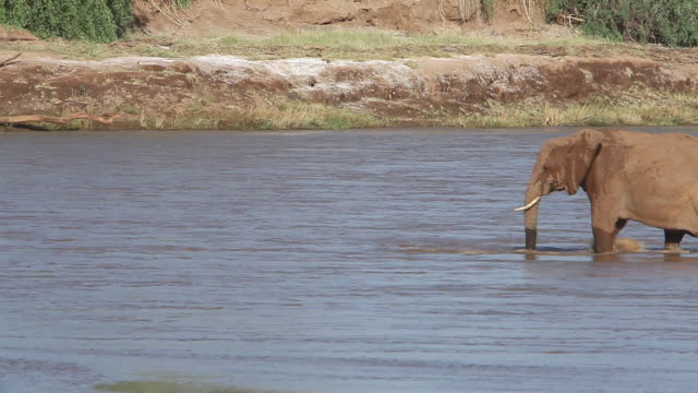 ms elephant walking in river for crossing river / national park, africa, kenya - herbivorous stock videos and b-roll footage