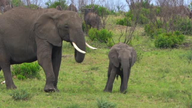 vidéos et rushes de éléphant marchant dans la savane - vue latérale
