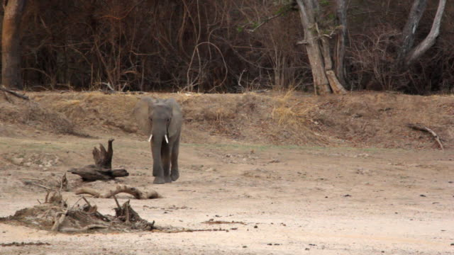 vidéos et rushes de ws elephant walking on dry river / lukuzi, eastern, zambia - sec