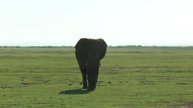 vidéos et rushes de ms elephant walking towards camera on african savannah / serengeti, kenya  - nez d'animal