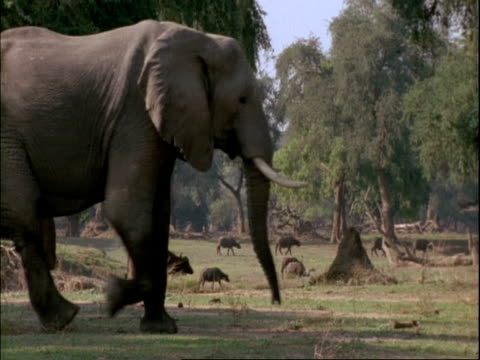 elephant (loxodonta africana) walks left to right through frame, herd of buffalo moving left to right in background, mana pools, zimbabwe - 厚皮動物点の映像素材/bロール