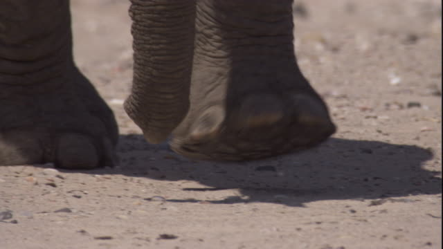 elephant walks over desert sand, skeleton coast, namibia. available in hd. - namibia stock videos & royalty-free footage