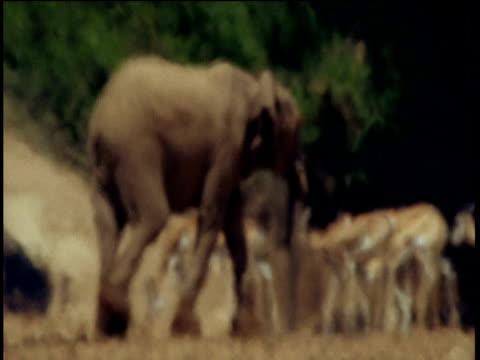 Elephant walks past springbok in heat haze, Namibia