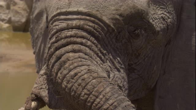 vídeos y material grabado en eventos de stock de elephant waves trunk around by desert pool, skeleton coast, namibia. available in hd. - nariz de animal