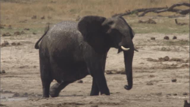 vidéos et rushes de elephant waving trunk as it walks across plains - plan d'eau