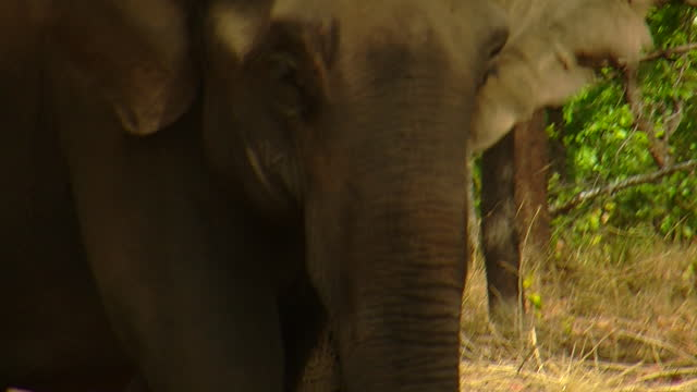 elephant with chain on foot / india - tierkörper stock-videos und b-roll-filmmaterial